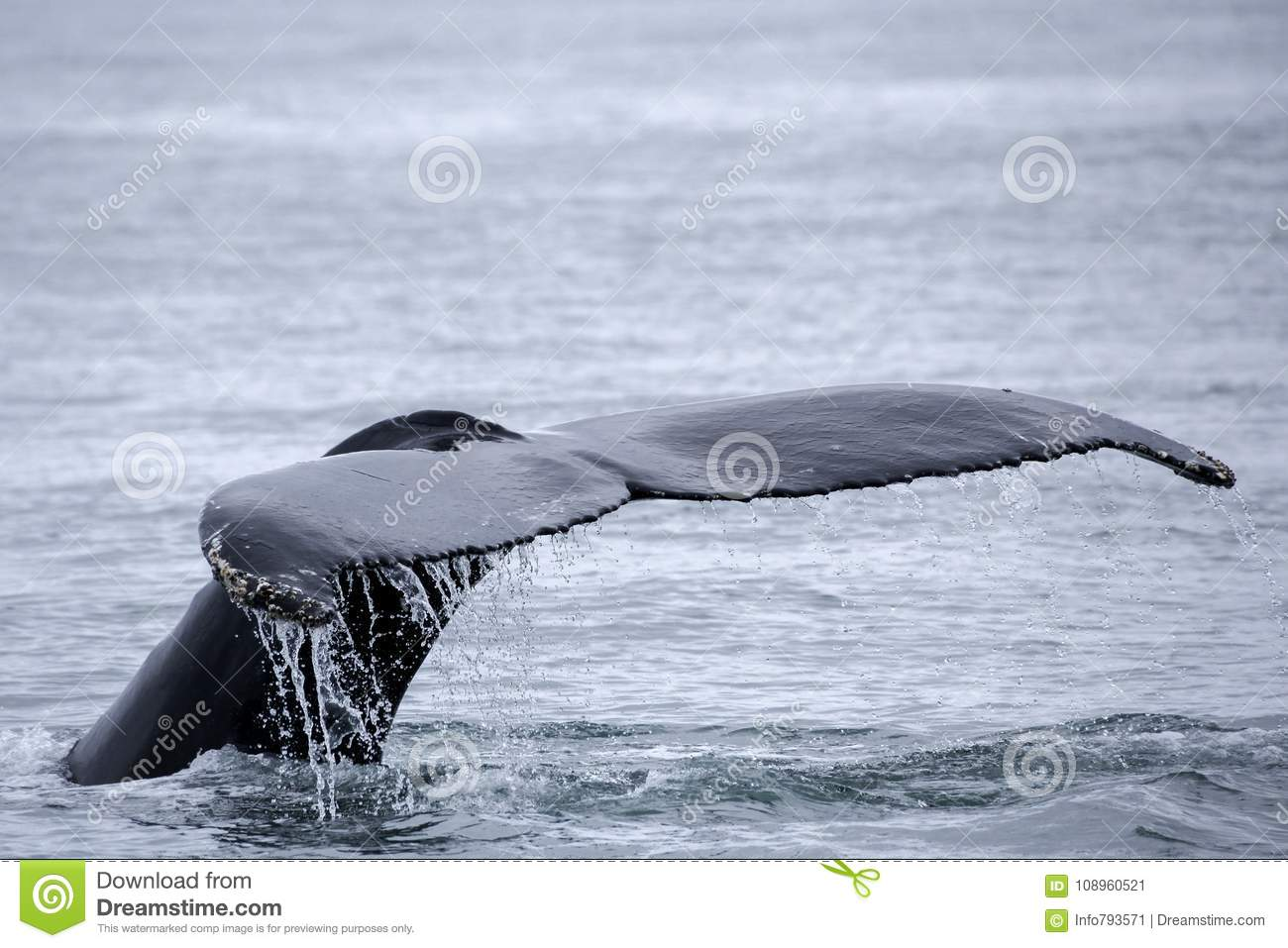 Tail fin of the mighty humpback whale