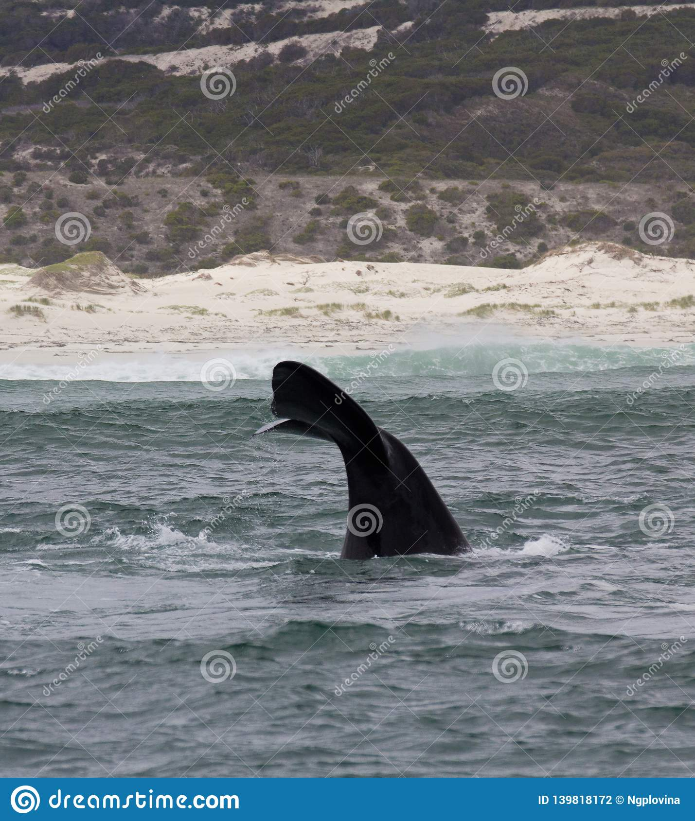 Tail of a Southern Right Whale swimming near Hermanus, Western Cape. South Africa.