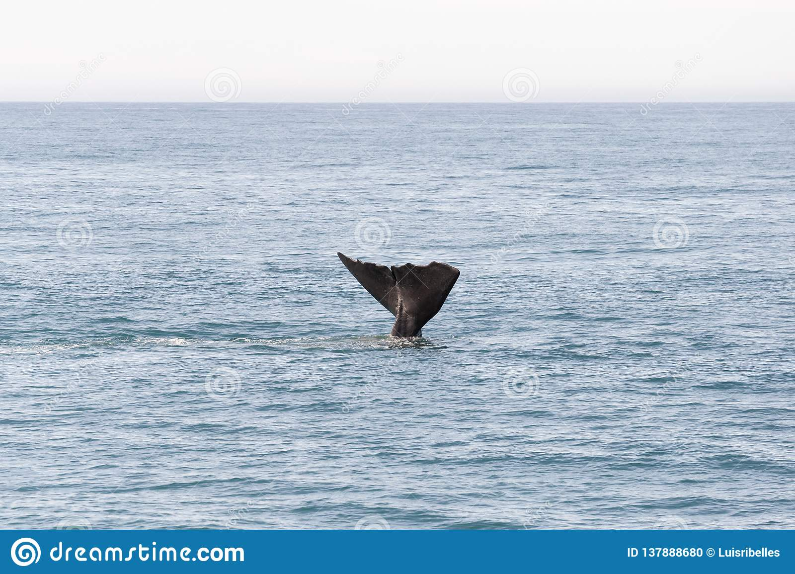 Tail from whale going into the ocean in Kaikoura, New Zealand.