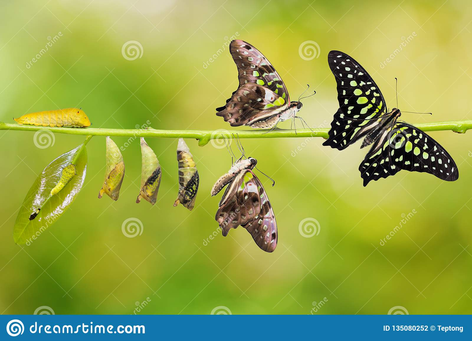Tailed Jay Graphium agamemnon butterfly life cycle