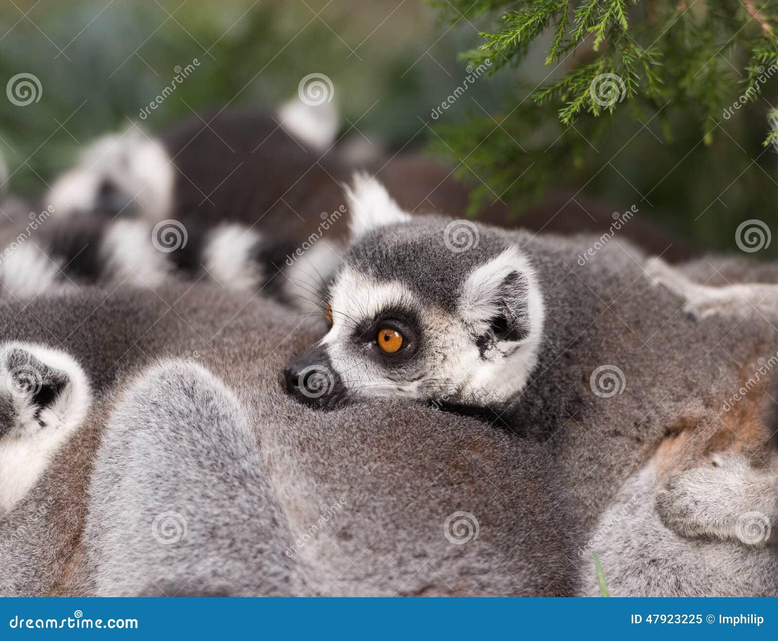 Tailed lemurcirkel
