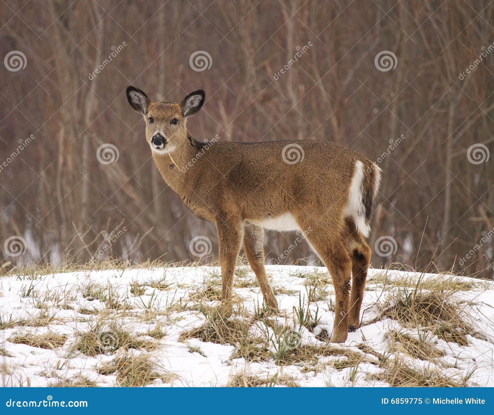 Tailed vitt barn för hjortar snow