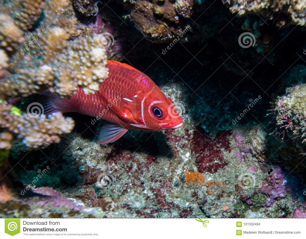 Tailspot Squirrelfish Hiding Behind A Rock. Stock Photo - Image of ...