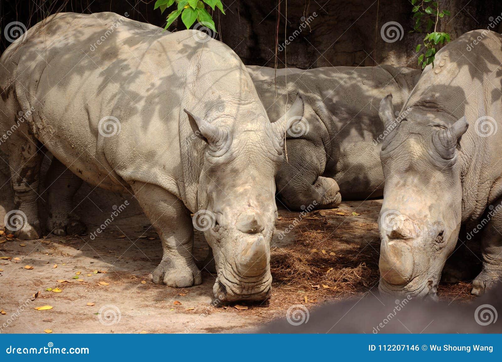 Taiwan Taipei, zoo della città, Grey Rhino dall Africa, mangiante