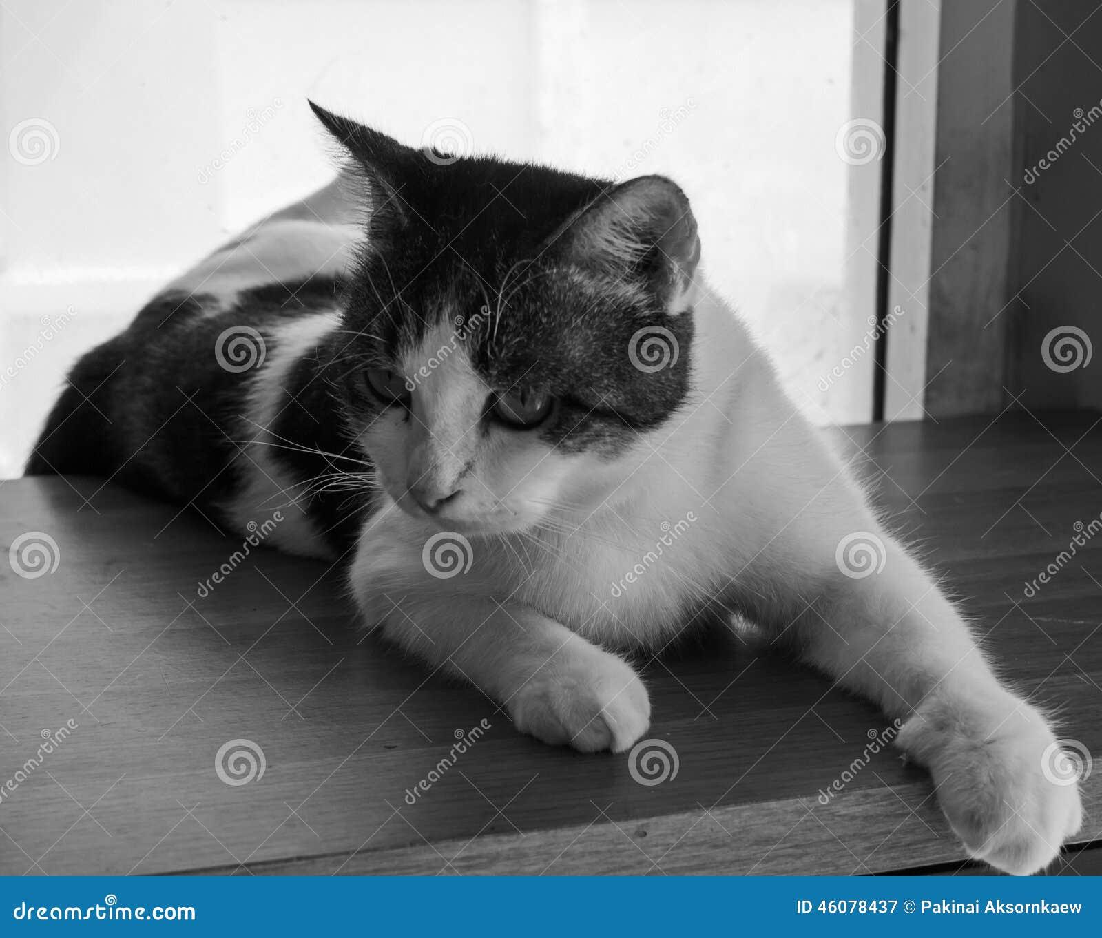 Tajlandia koty