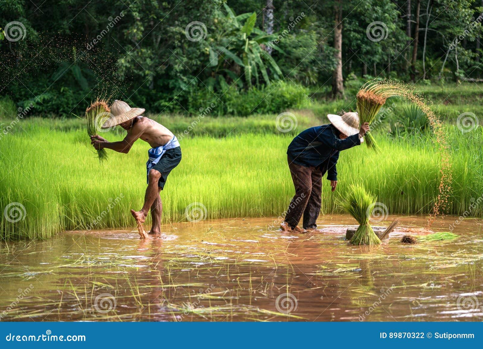 Tajlandzki Średniorolny Rodzinny działanie w uprawiać ziemię