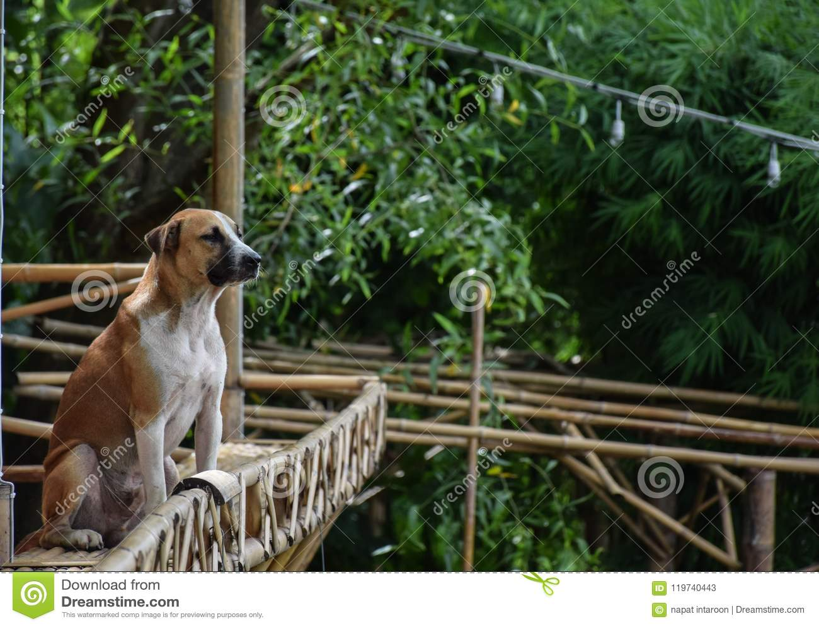 Tajlandzki brązu psa obsiadanie na bambusowym balkonie