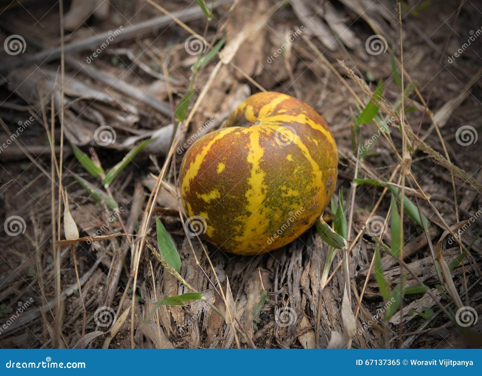 Tajlandzki kantalupa melon