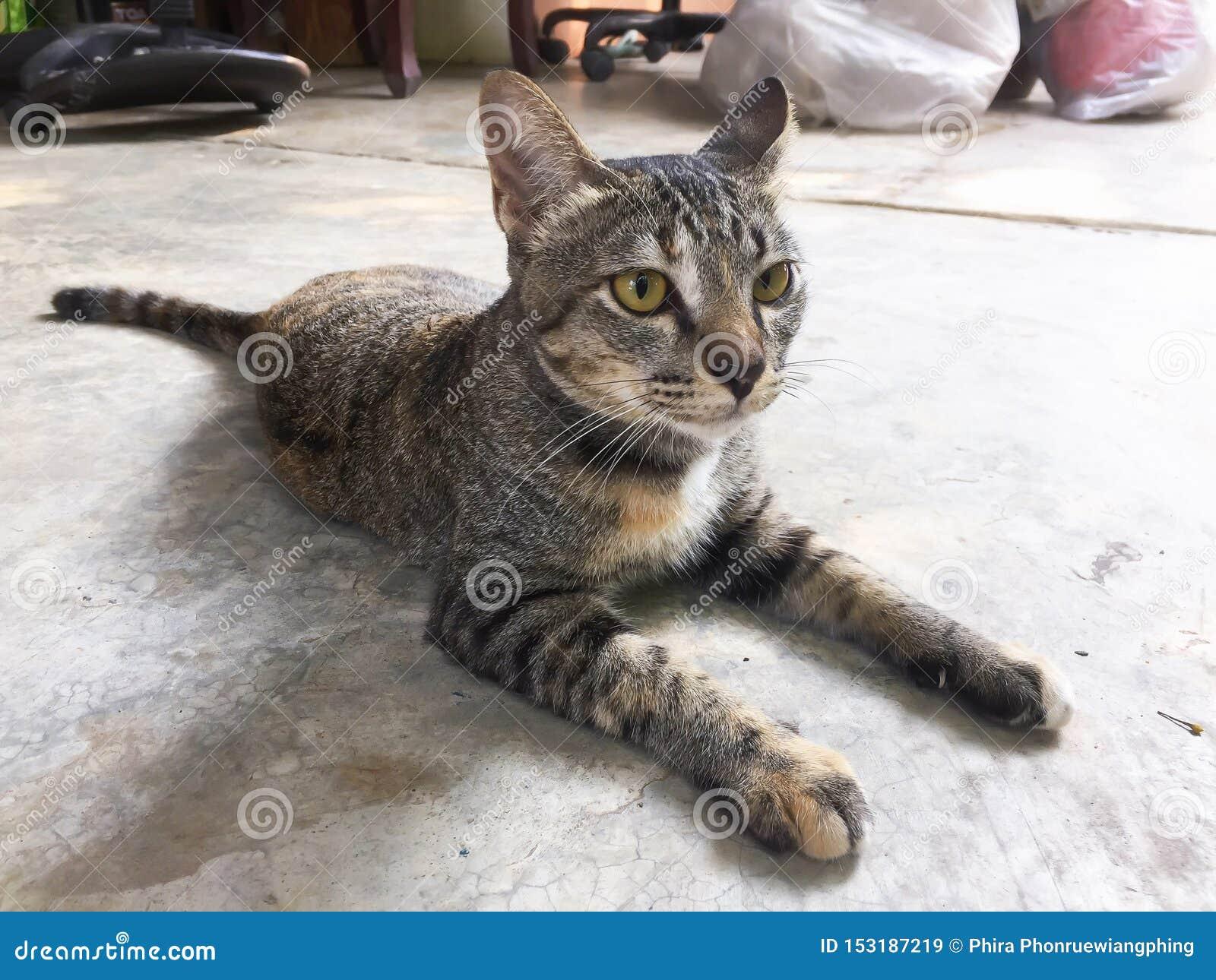 Tajlandzki kot jest ślicznym kotem z bliska