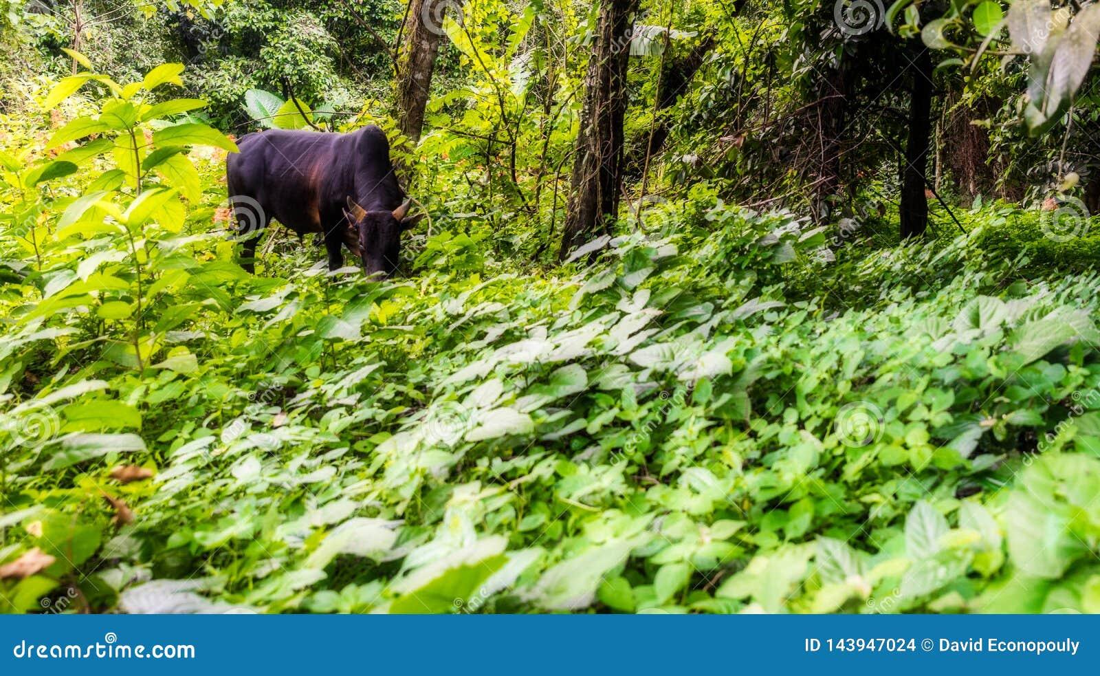 Tajlandzki krowy pasanie w tropikalnego lasu deszczowego polu