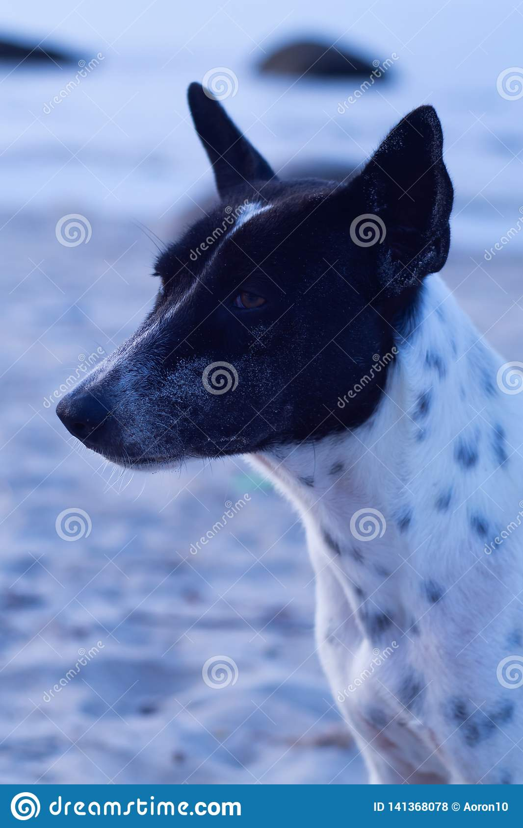 Tajlandzki pies z białymi i czarnymi punktami w Plażowym terenu tle