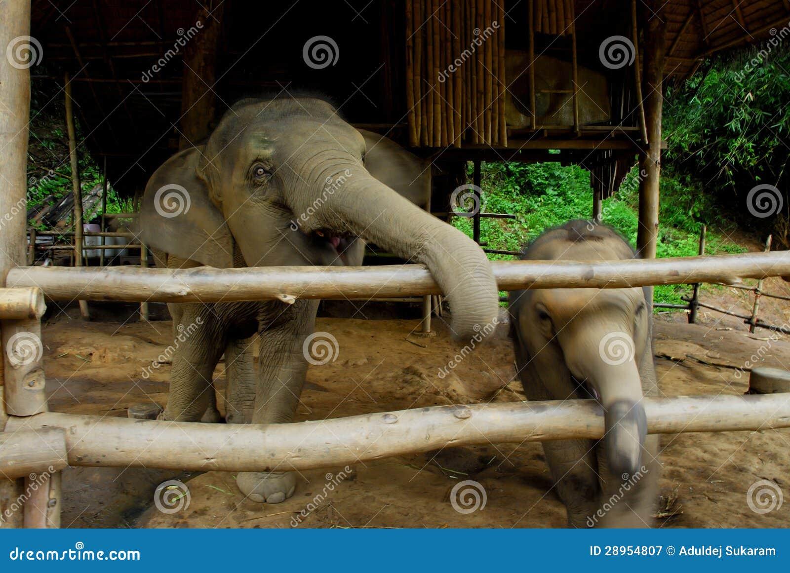 Tajlandzki słoń