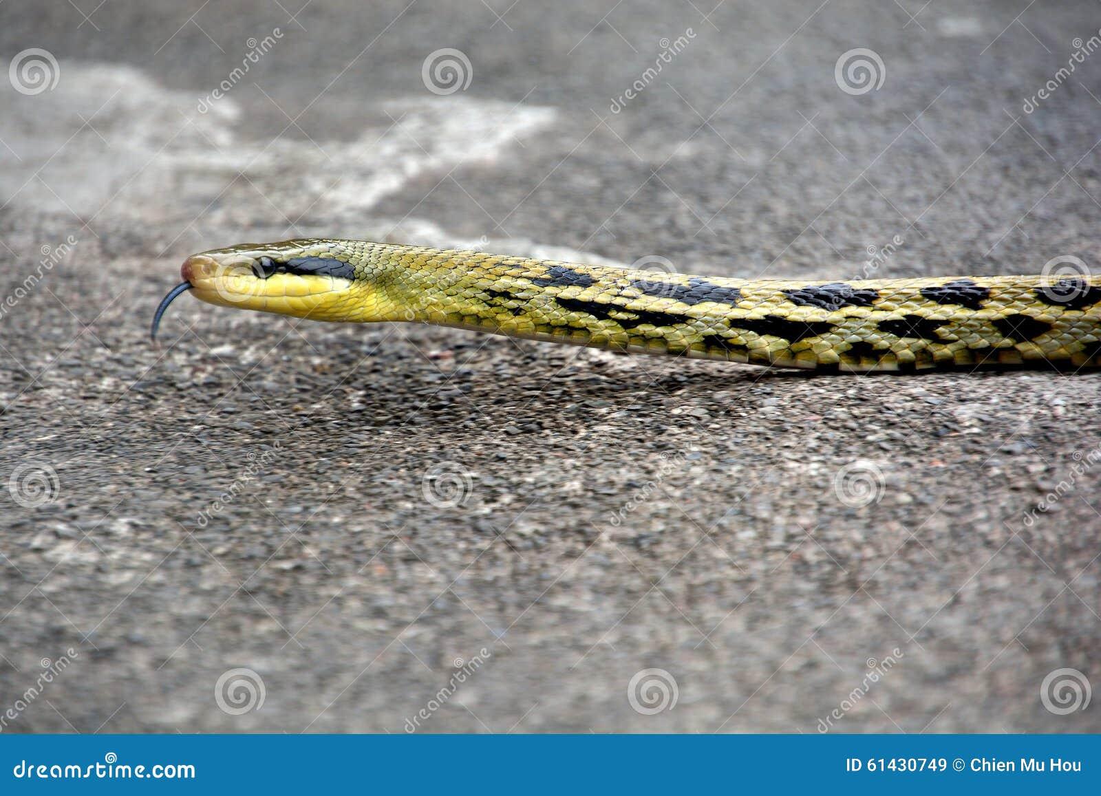 Tajwański piękno wąż