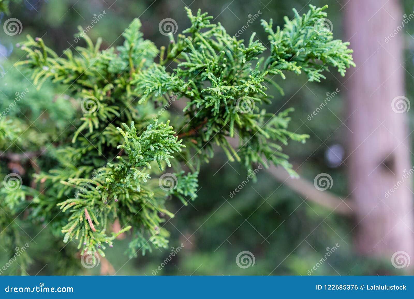 Tak en Blad van de Dwerghinoki-Cipres, chamaecyparis obtusa, Nana Gracilis