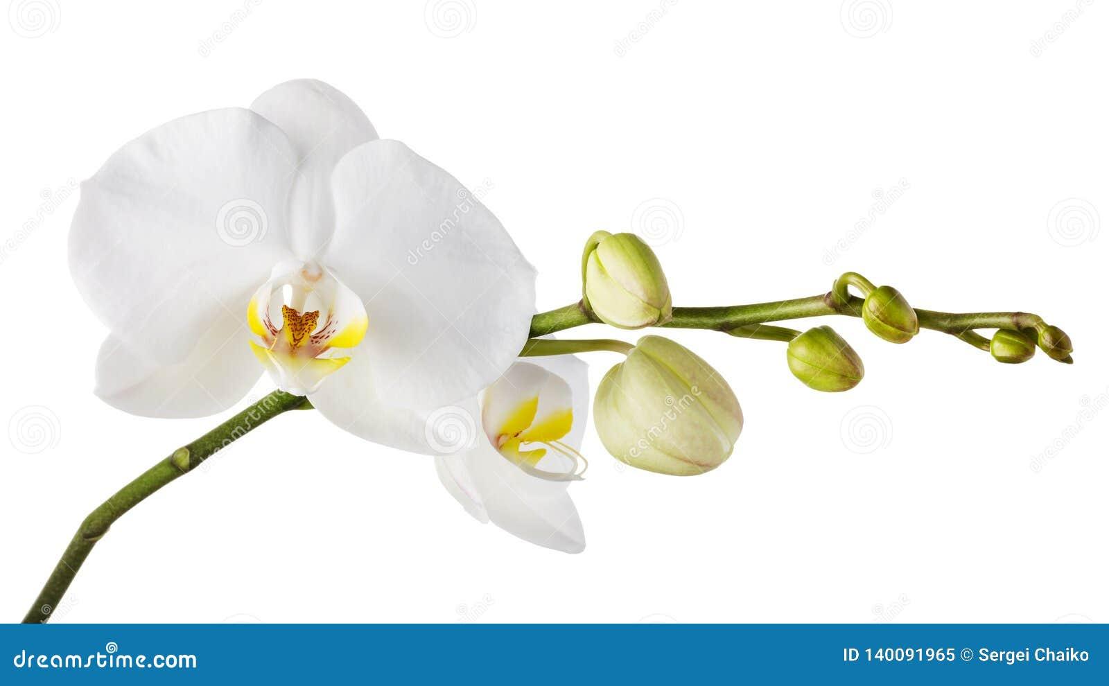 Tak van een bloeiende witte orchidee met een gele kleur in het midden en verscheidene onontdekte knoppen