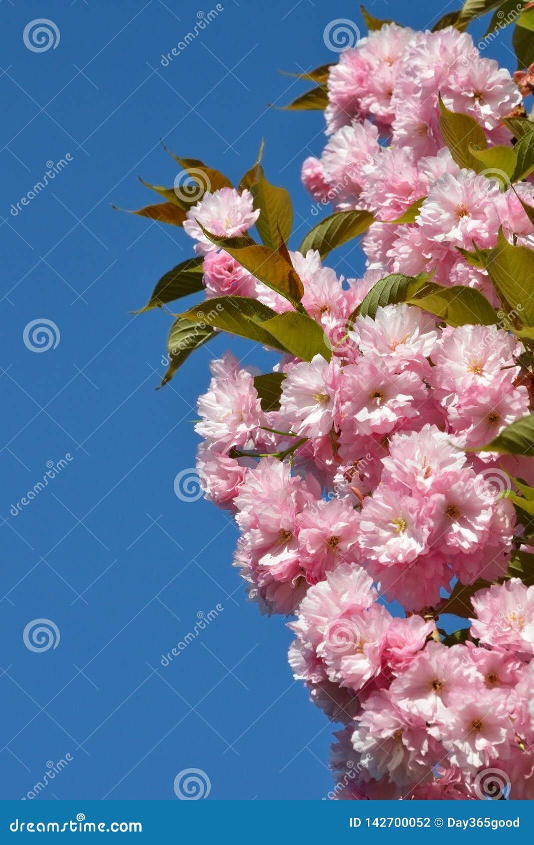 Tak van roze kersenbloesems tegen de blauwe hemel Bloeiende tuin De lentebloei