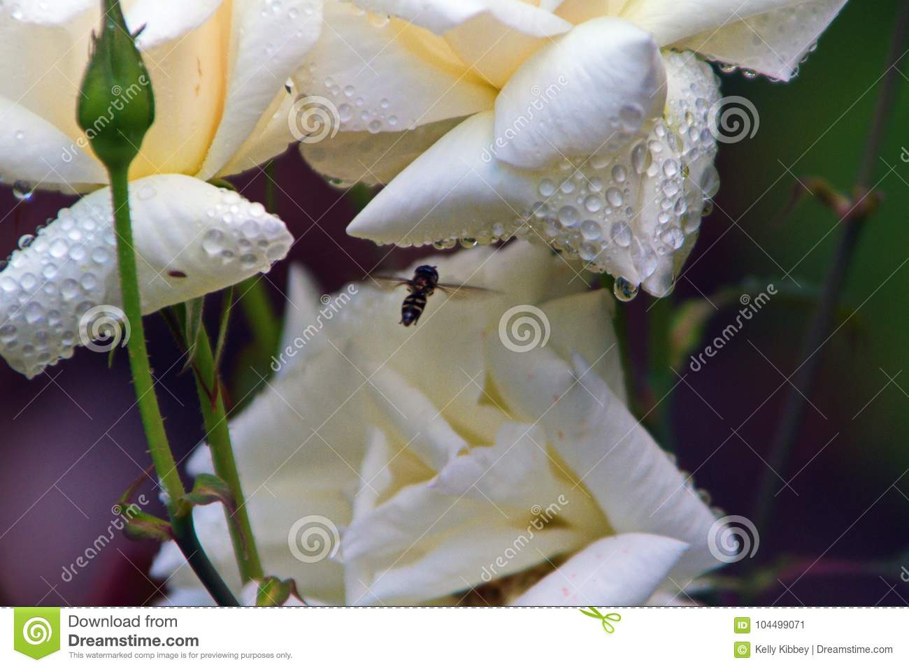 Bee On White Tropical Flower Stock Image Image Of Lily Rain
