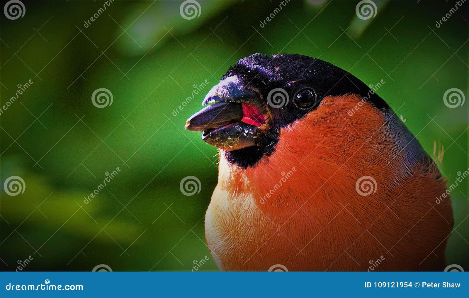 Male Bullfinch Portrait