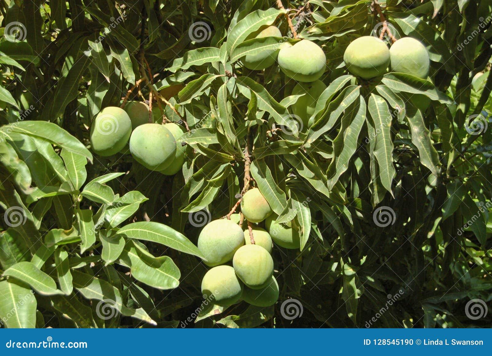 Mango Tree Etiopia stock photo  Image of hang, green - 128545190