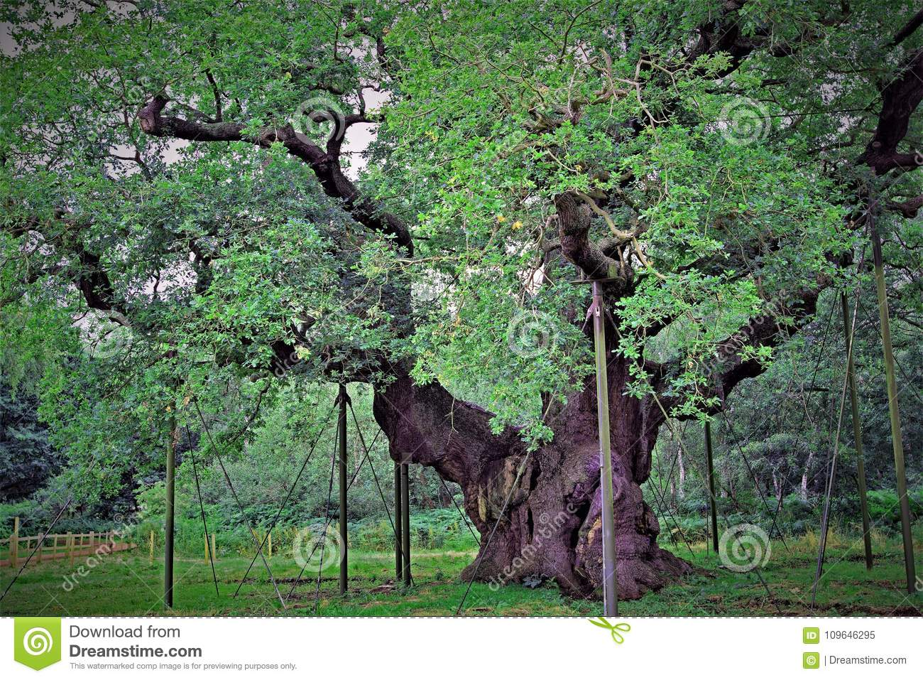 The Great Oak: `England`s Most Famous Tree`