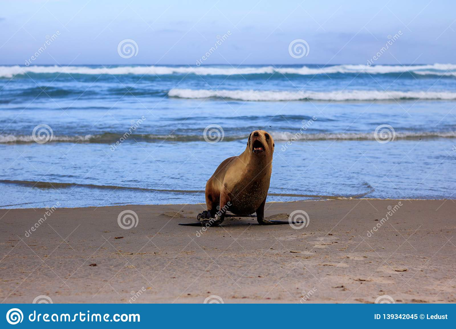 Sea lion comming out of the ocean at Allans beach