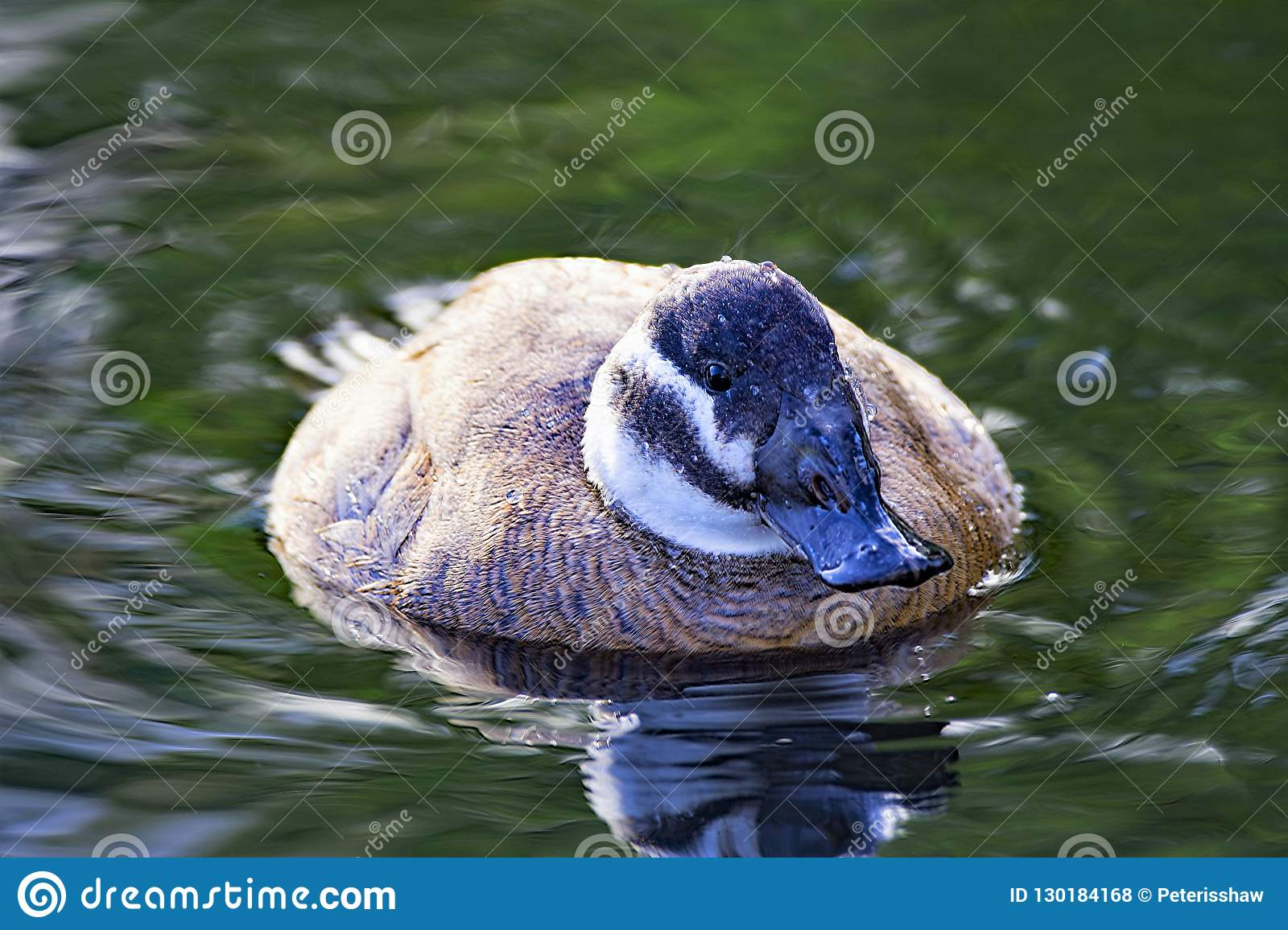 White headed duck, female swimming forwards, in North West wetlands.