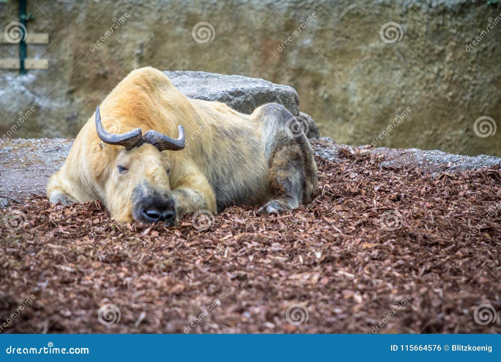 Takin dorato in uno zoo, Berlino