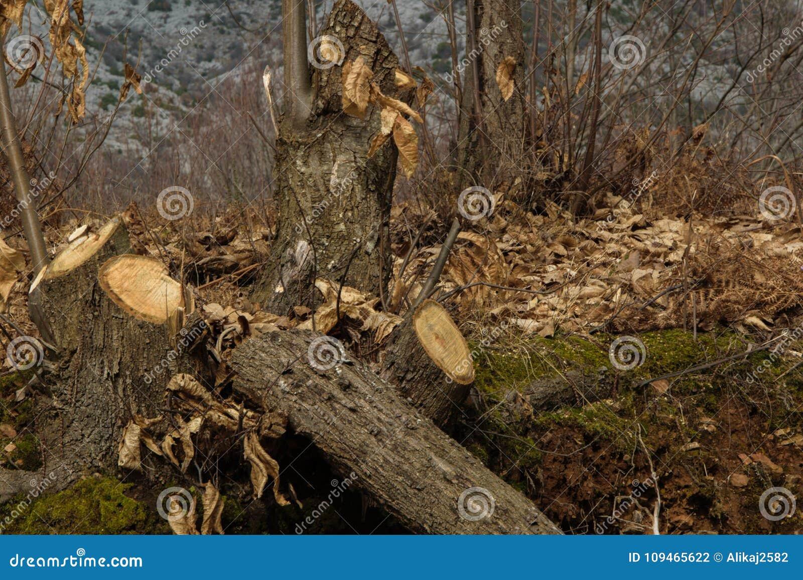 Tala de árboles - árboles jovenes cortados en la madera para la madera