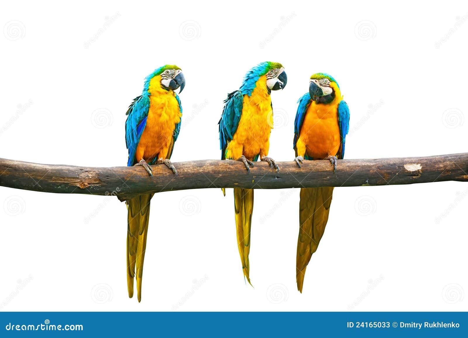 Talande yellow för blå macaw