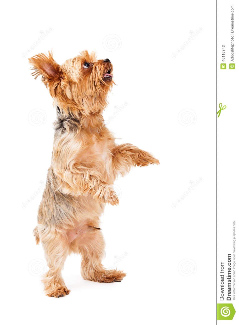 Talented Yorkshire Terrier Puppy Dancing Stock Photo - Image: 46116843