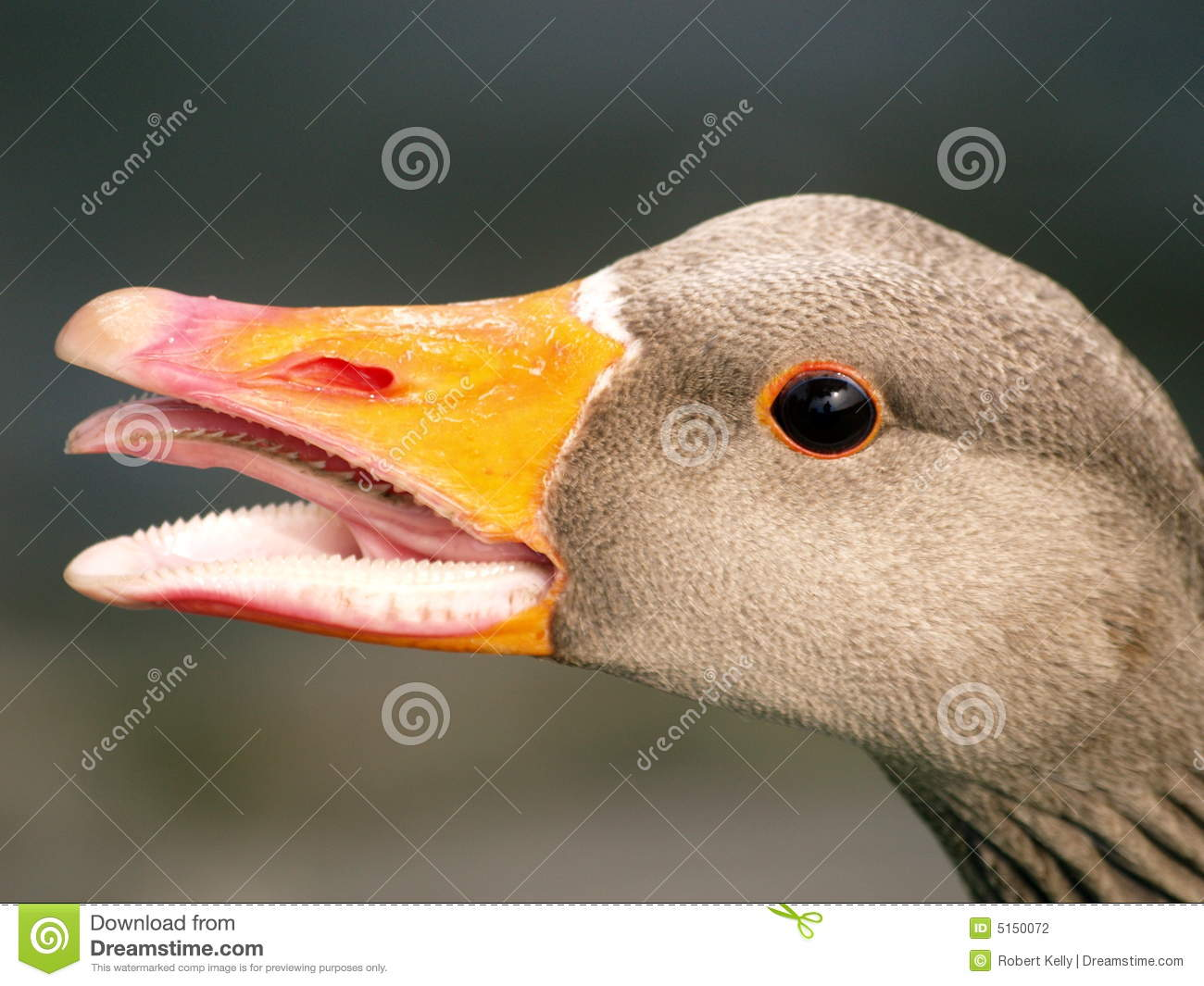 birds mouth open
