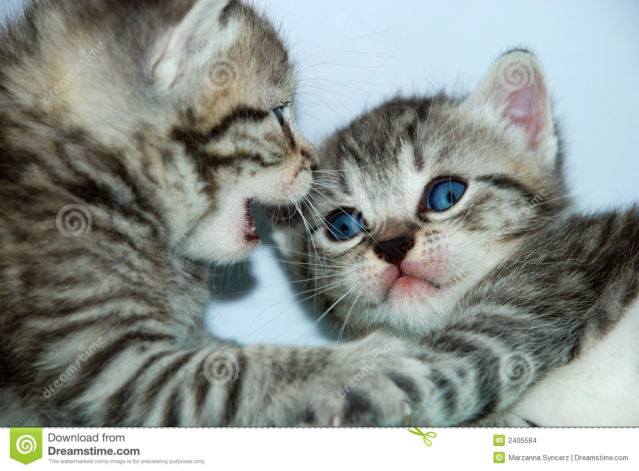 Closeup of two kittens playing, one with his mouth open as if he is ...