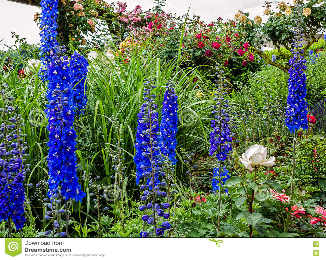 Tall Blue Delphinium Flowers Blue Nile Stock Photo Image Of