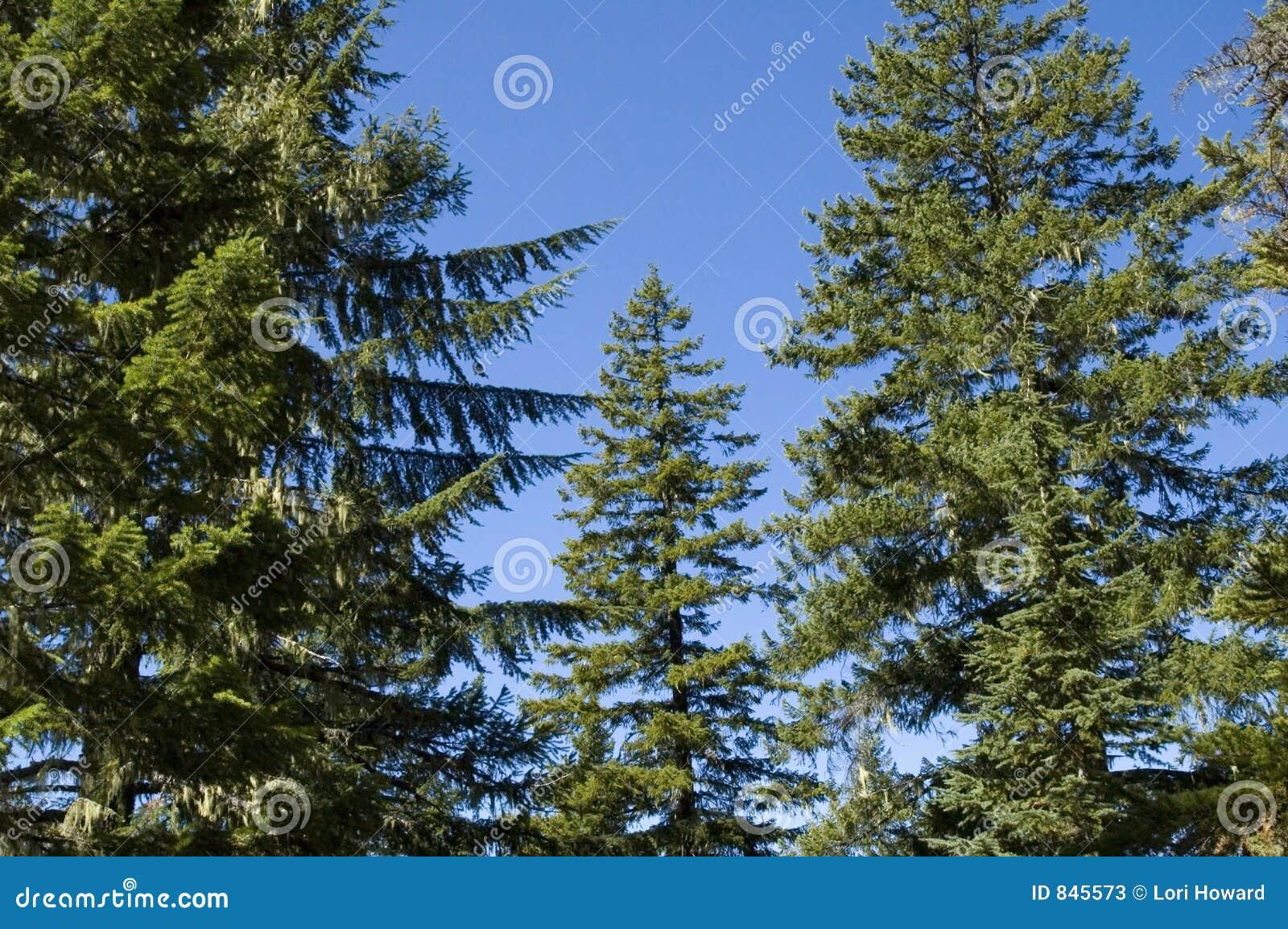 Tall Conifers