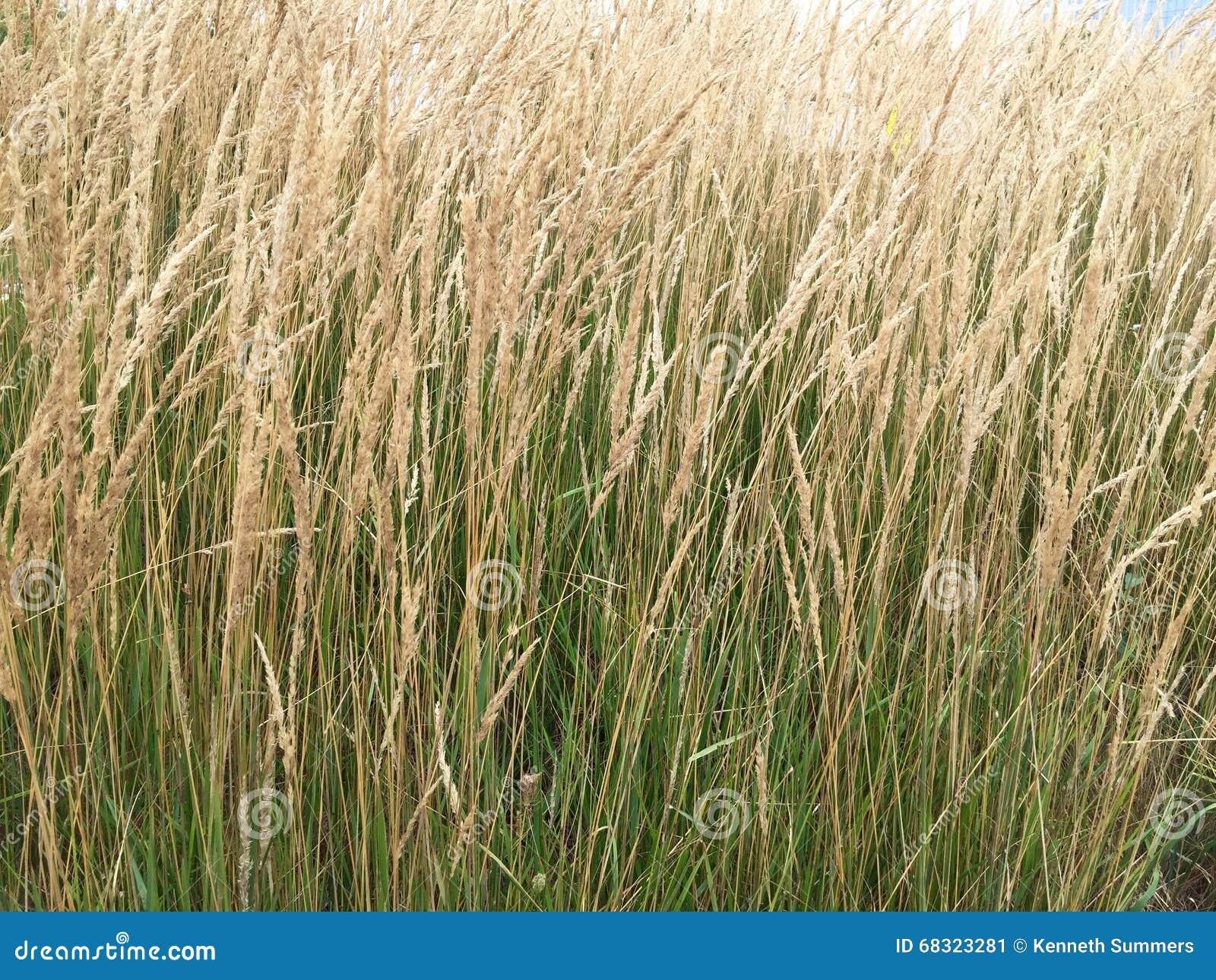 Tall Decorative Grass Tall Decorative Grass Stock Photo Image 68323281