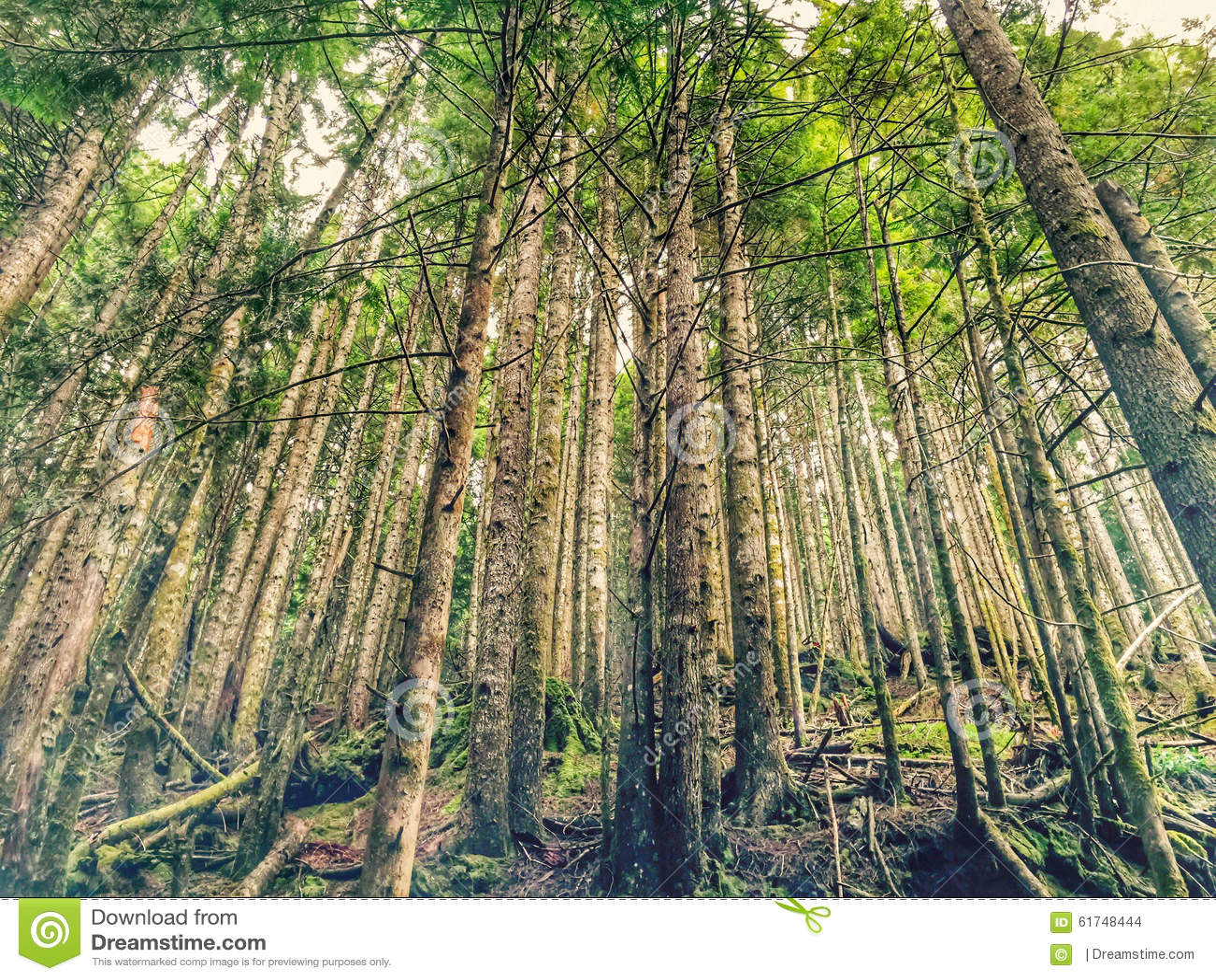 washington evergreen tree line drawing - Google Search ... |Washington Evergreen Trees
