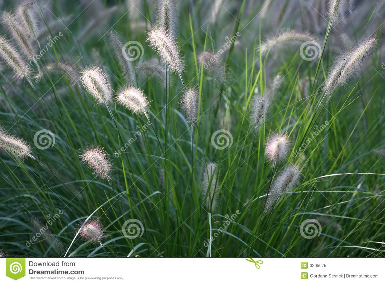 Tall Fluffy Grass Stock Image Image Of Reed Seed Fall