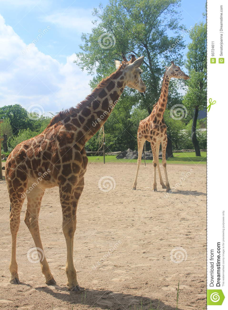 A tall giraffe in the Chester zoo