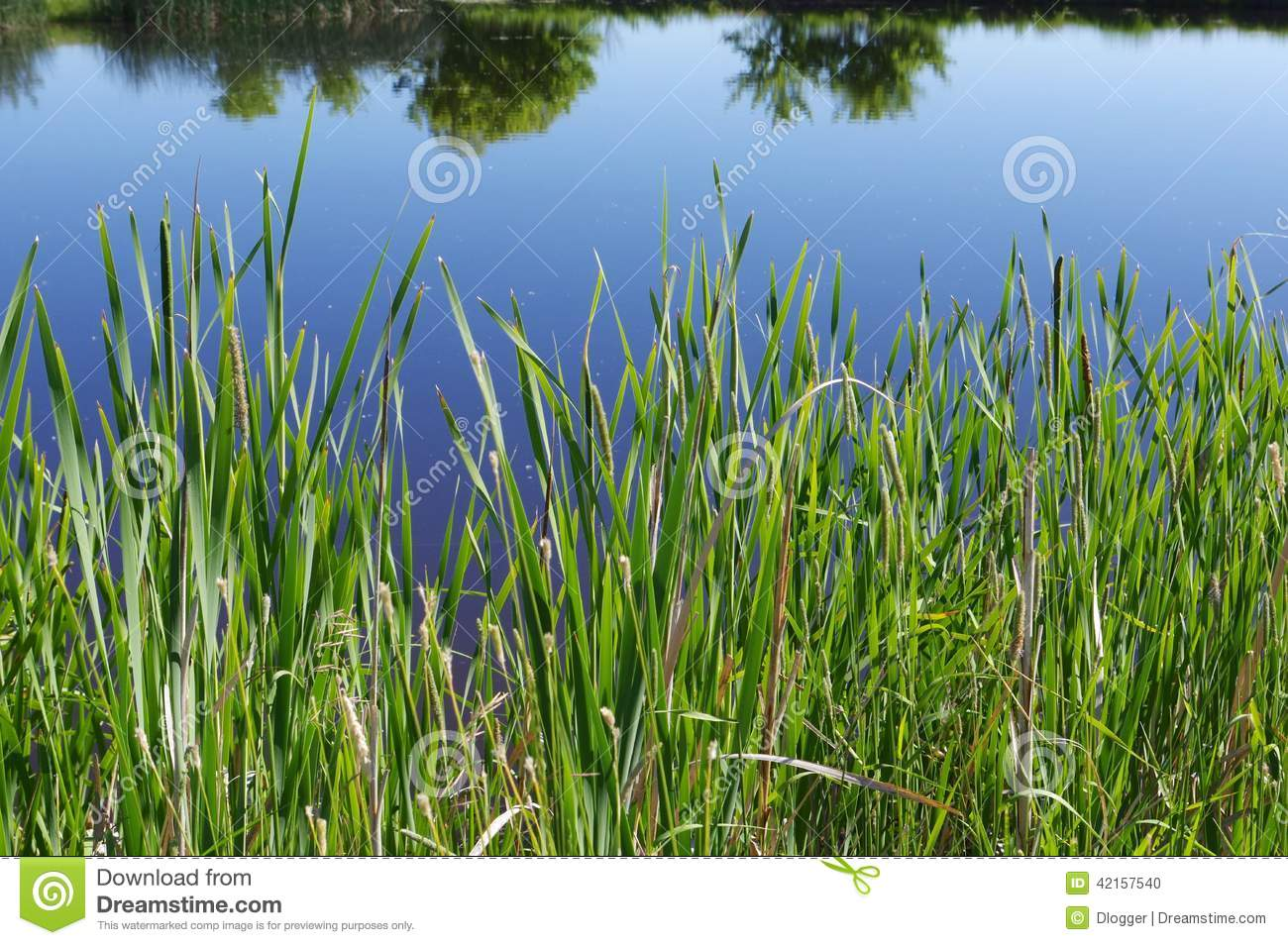 Tall Grass On Edge Of Pond Stock Photo Image 42157540