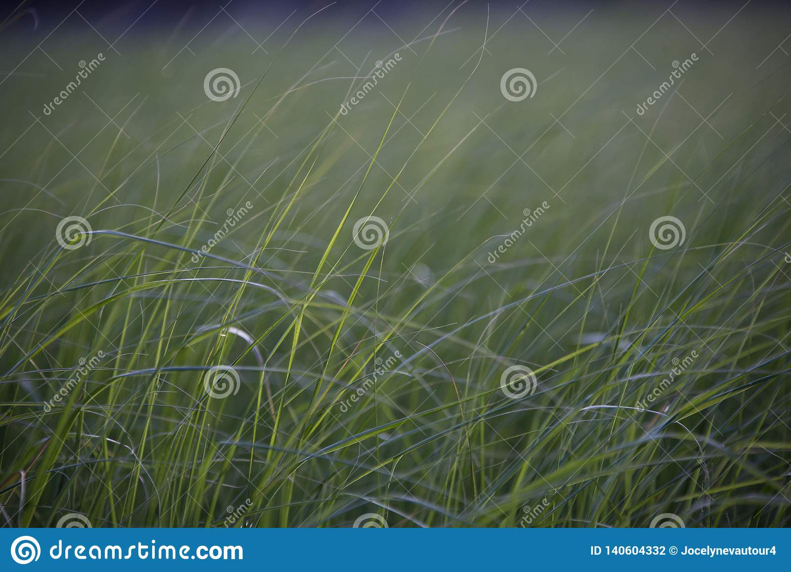 Tall grass in a meadow near a pond