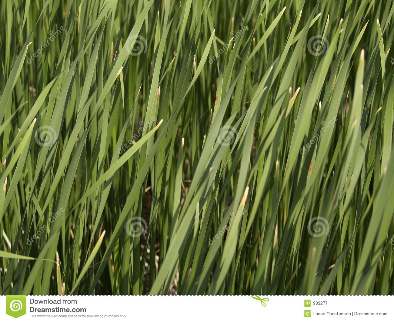 Tall Grass - Texture Royalty Free Stock Photography ...