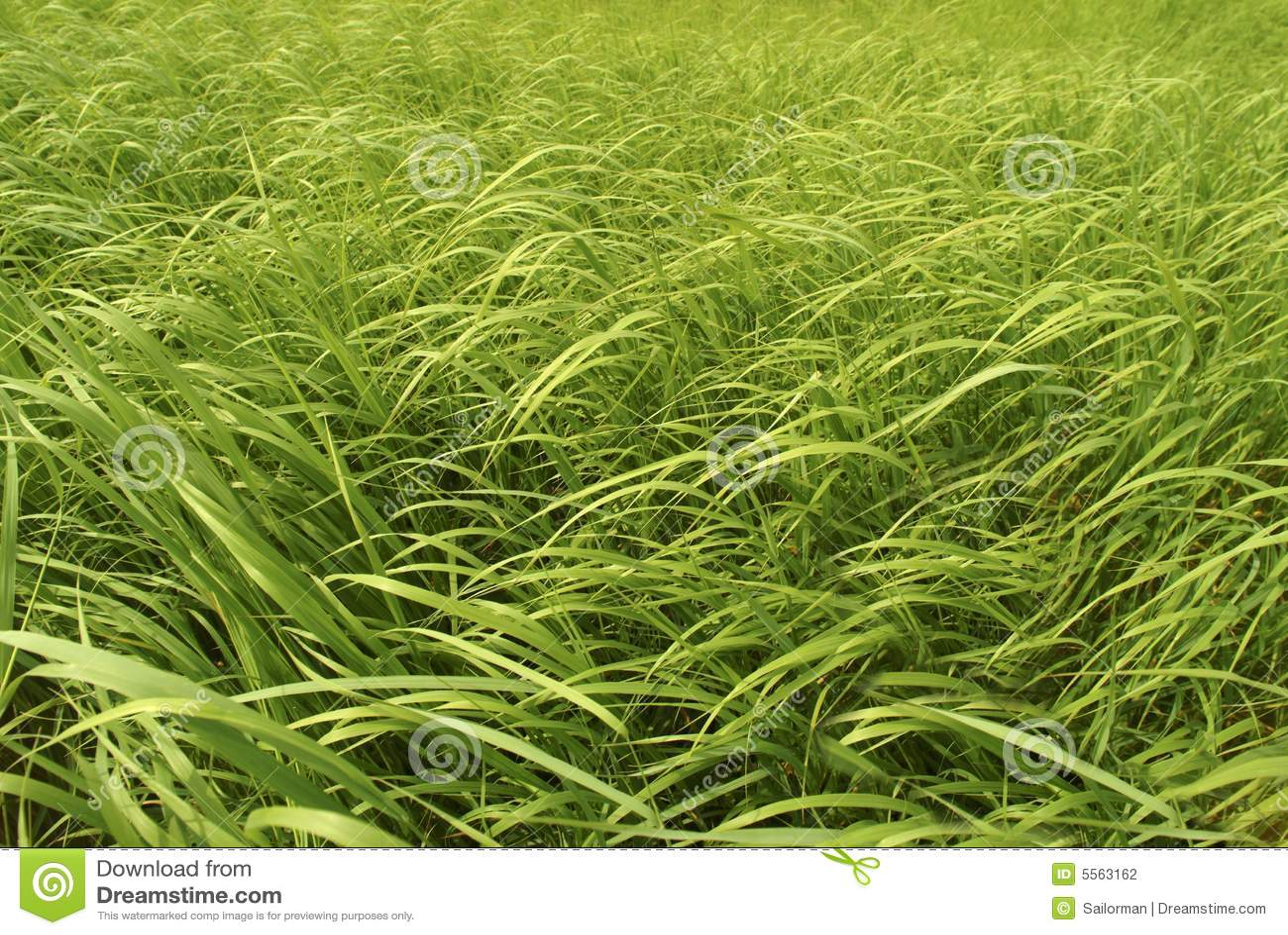 tall green grass field. Tall Green Grass Field E