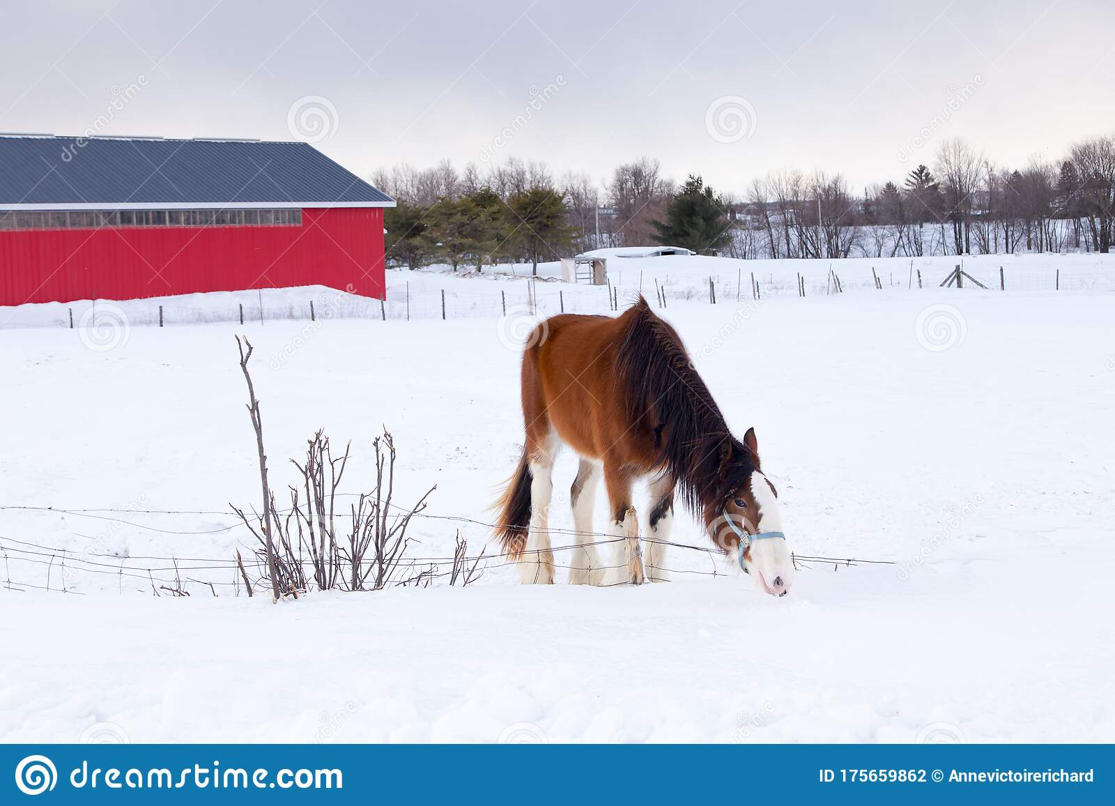 Clydesdale Snow Photos Free Royalty Free Stock Photos From Dreamstime