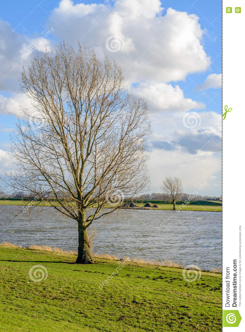 Tall leafless tree on the banks of a wide river