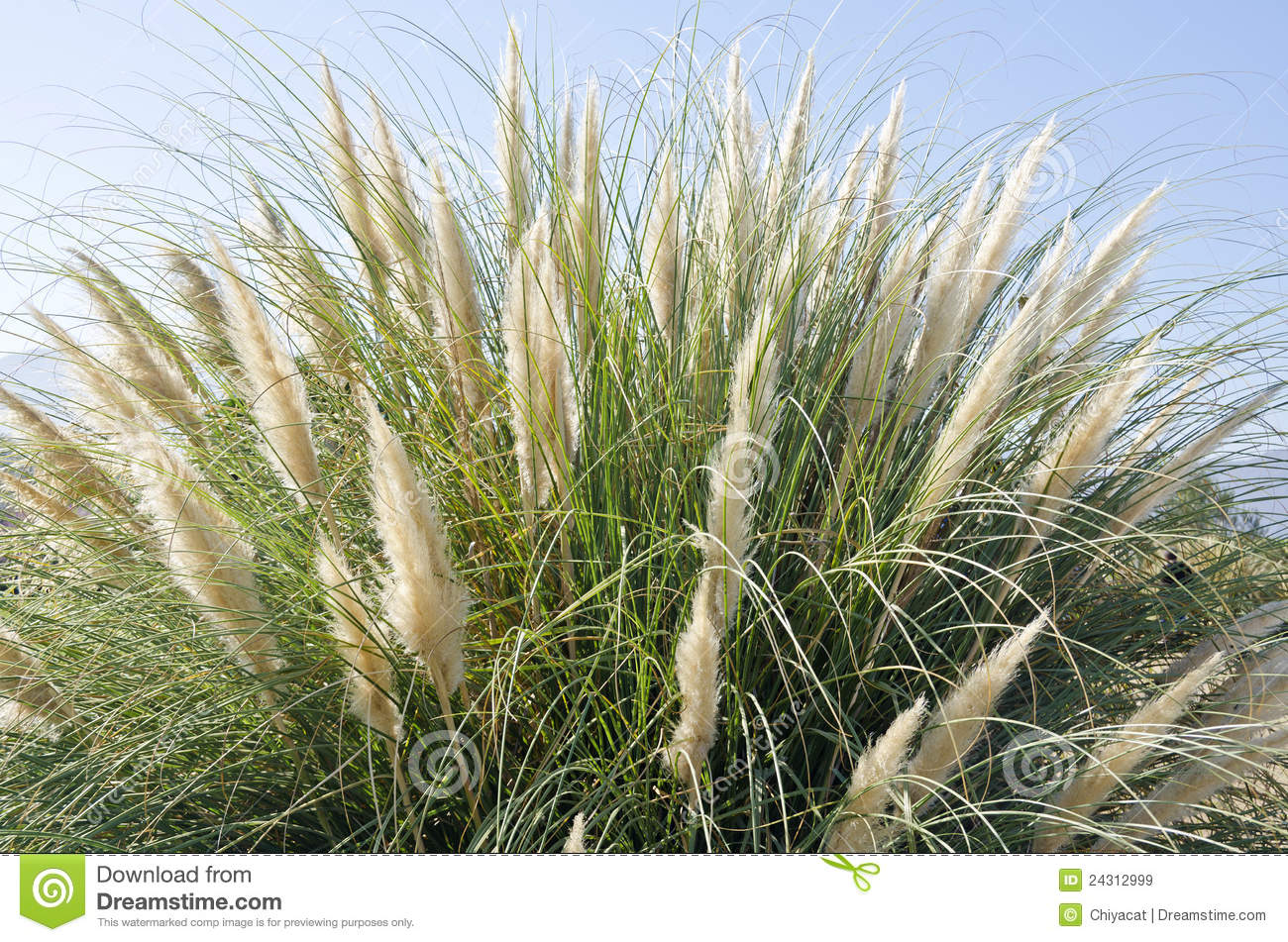 Tall ornamental grass against the blue sky royalty free for Very tall ornamental grasses