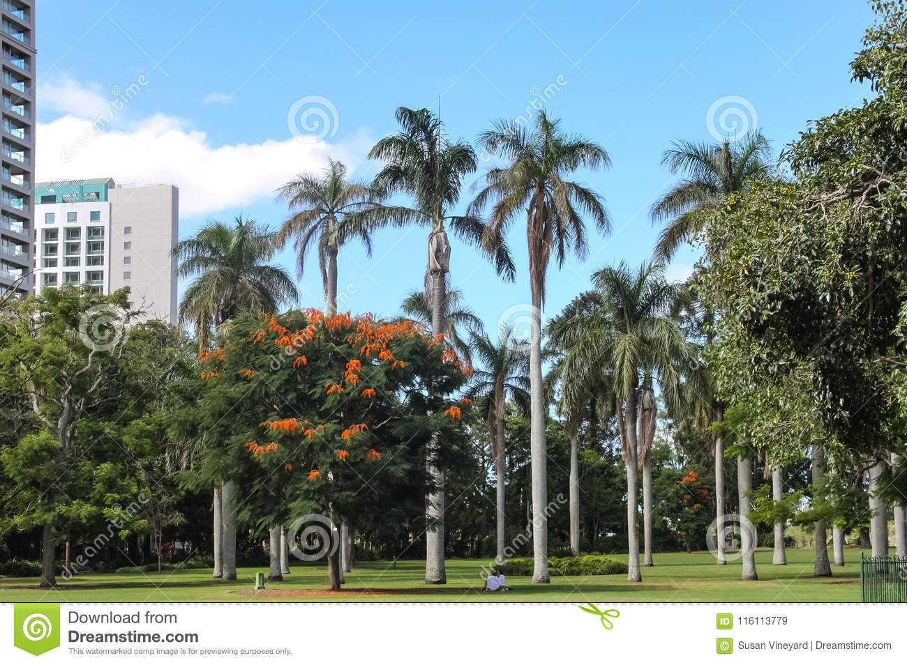 Tall palm trees and Royal poinciana Delonix regia in Brisbanes City Botanic Gardens under blue skys with two people sitting in s