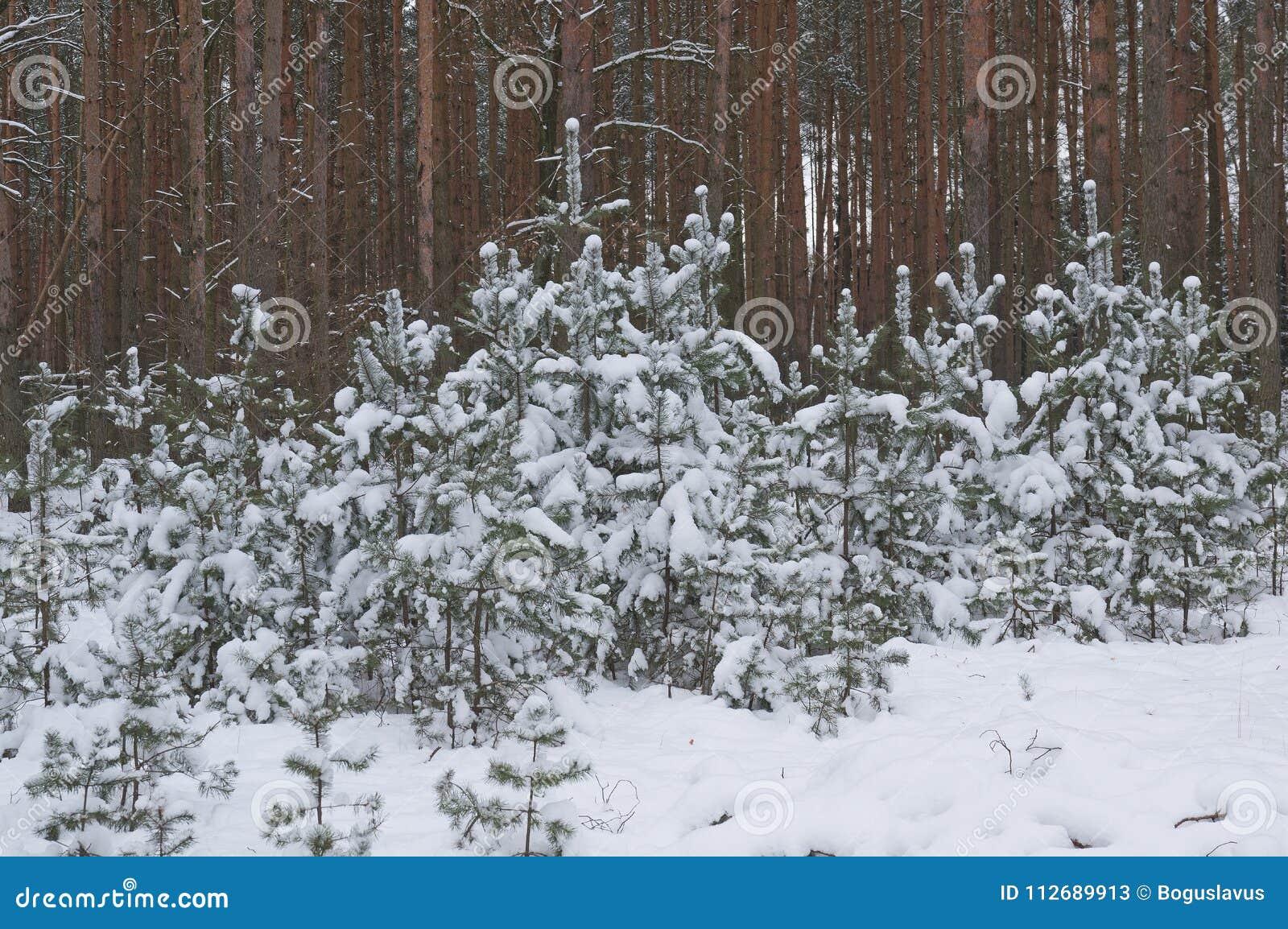 Small pines pics