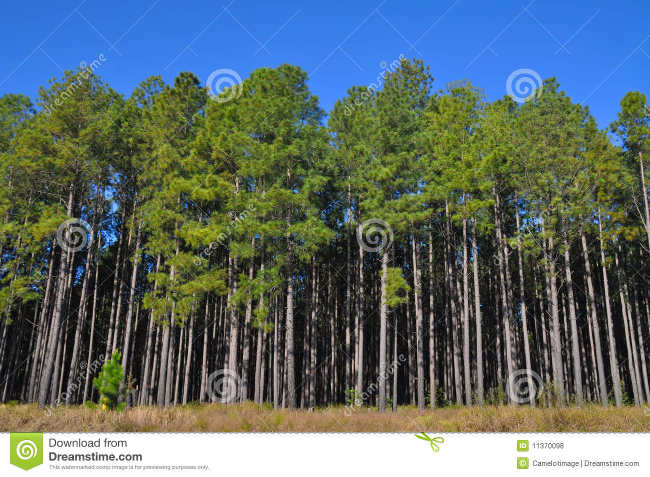 Tall pine trees at the edge of a large plantation stock for Mature pine trees
