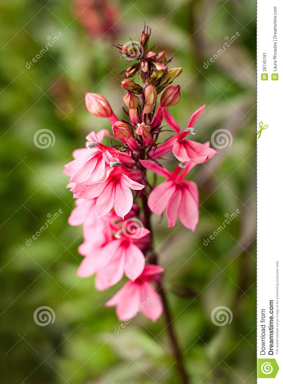 Tall Pink Flower In Garden Stock Image Image Of Garden 26745181