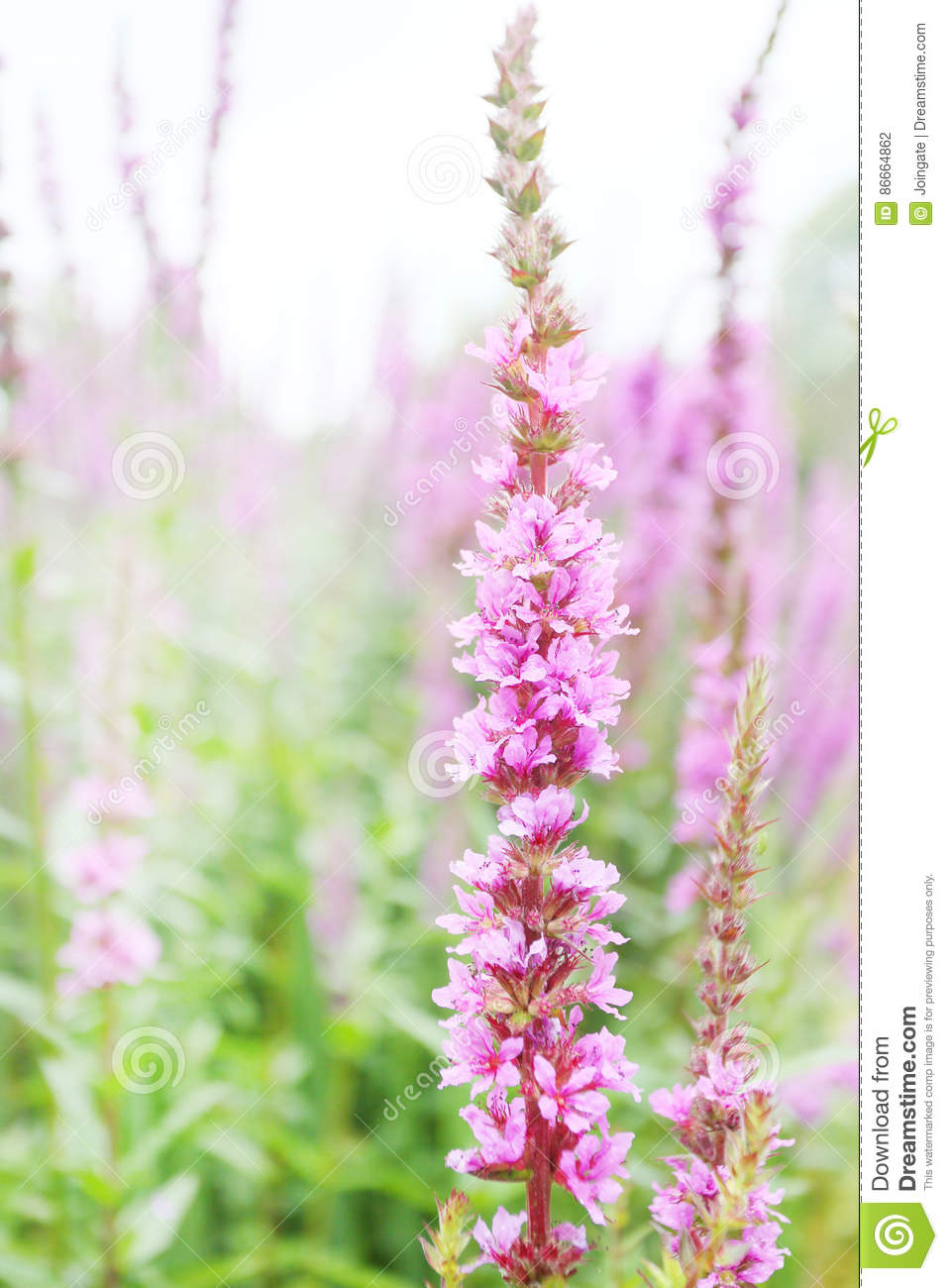 Tall Pink Flower With Many Buds Similar To Foxglove Stock Photo